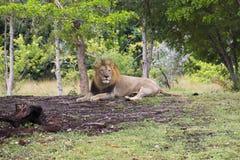 Miami Zoo, Florida, USA - lion