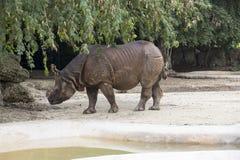 Miami Zoo, Florida, USA - Rhinoceros