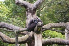 Miami Zoo, Florida, USA - Western lowland gorilla Royalty Free Stock Images