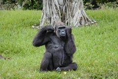 Miami-Zoo-Gorilla auf einem Gebiet des grünen Grases Stockfotos