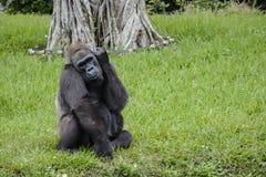 Miami-Zoo-Gorilla auf einem Gebiet des grünen Grases Lizenzfreie Stockbilder