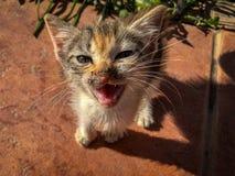 Miar curioso do gatinho da chita do tortoishell imagens de stock
