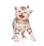 Miar do gatinho Isolado no fundo branco Foto de Stock Royalty Free