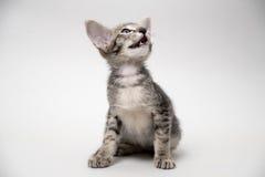 Miar oriental do gatinho do gato malhado cinzento doce Fotografia de Stock Royalty Free