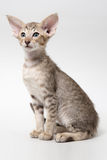 Miar oriental do gatinho do gato malhado doce do chocolat do gengibre Fotografia de Stock Royalty Free