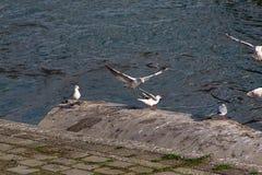 Miast seagulls na Danube wybrzeżu Fotografia Royalty Free
