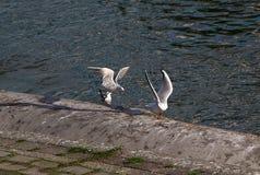 Miast seagulls na Danube wybrzeżu Obrazy Royalty Free