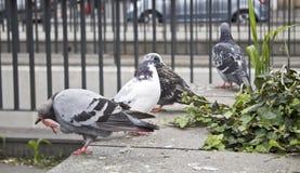 Miasta pidgeon Zdjęcie Stock