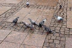 Miasto gołębie Zdjęcie Stock