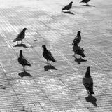 Miasto gołębie Obrazy Royalty Free