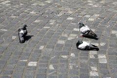Miasto gołębie gorącym letnim dniem Zdjęcia Stock