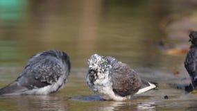 Miasto gołębie kąpać w stawie w lato upale zbiory