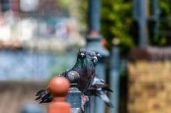 Miasto gołębie umieszczający na poręczu Zdjęcia Royalty Free