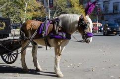 Miasto Nowy Jork Kareciany koń Fotografia Stock
