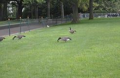 Miasto Nowy Jork, Sierpień 2nd: Gooses w parku od statuy wolności wyspy w Miasto Nowy Jork Zdjęcia Royalty Free