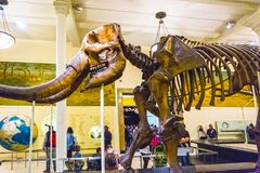 Miasto Nowy Jork, Stany Zjednoczone Ameryka, Maj - 01, 2016: Dinossaur Fossile model przy Amerykańskim muzeum Naturalny Obraz Stock