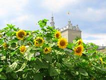 miasto Quebec słoneczniki Zdjęcia Royalty Free
