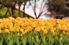 Miasto tulipany Obrazy Stock