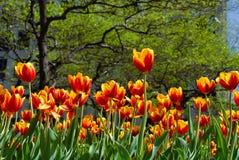 Tulipany w wiośnie Obrazy Stock
