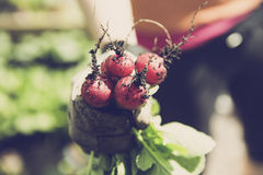 Miastowego ogrodnictwa życiorys ogrodowa rzodkiew Zdjęcia Stock