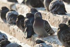 Miastowi gołębie Zdjęcia Royalty Free