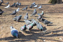 Miastowi gołębie Zdjęcie Royalty Free