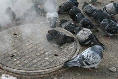Miastowi gołębie grżą w zimie obok manhole Obraz Stock