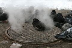 Miastowi gołębie grżą w zimie obok manhole Obrazy Stock