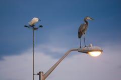 Miastowi ptaki Egret i czapla Obrazy Stock