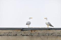 Miastowi seagulls Obrazy Stock