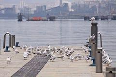 Miastowi seagulls na molu z zamazanymi przemysłowymi instalacjami o Obraz Stock