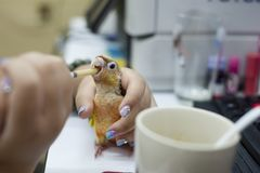 Miastowy dzieciak jest żywieniowym papugą przy komputerowym stołem fotografia stock