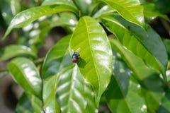 Miastowy modraka blowfly na liściu, obrazy stock