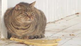 Miauen der großen Katze stock video footage