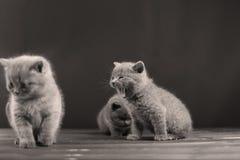 Miaulement de chaton des Anglais Shorthair Photo stock