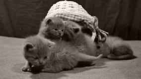 Miaulement de chatons dans un panier, d'intérieur banque de vidéos