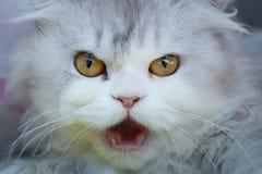 Miaulements pelucheux de chat Photographie stock