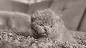 Miauler de chatons des Anglais Shorthair clips vidéos
