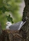 Miauwmeeuw op nest Royalty-vrije Stock Foto's