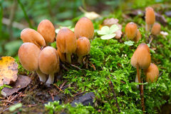 micaceus coprinus Στοκ Φωτογραφίες