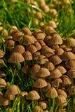 Micaceus de Coprinellus Photo stock