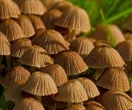 Micaceus de Coprinellus Image stock