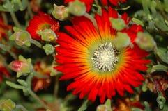 Micans de Drosanthemum Foto de Stock