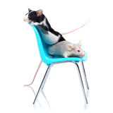 Mice. Two fancy mice on a blue chair, isolated on white background Stock Photography