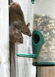 Mice. View of two mice getting seeds from a bird feeder Royalty Free Stock Photo