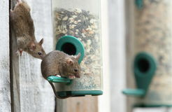 Mice. View of two mice getting seeds from a bird feeder Stock Image
