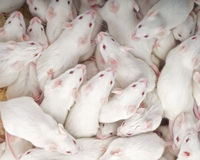 Mice. The mouse is widely used in labs world wide Stock Photography