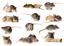 Mice. Collection  on white Stock Images