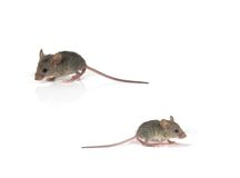 Mice. Two mice isolated on white Stock Photo