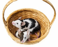 Mice in basket Royalty Free Stock Photo
